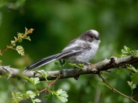 long-tailed-tit-chick-3124