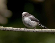 long-tailed-tit-chick-3227