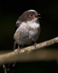 long-tailed-tit-chick-3265