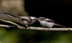 long-tailed-tit-feeding-chick-3223