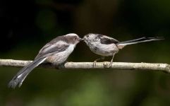long-tailed-tit-feeding-chick-3229