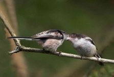 long-tailed-tit-feeds-chick-3145