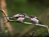 long-tailed-tit-feeds-chick-3146