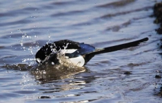magpie-bathing-7829