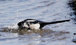 magpie-bathing-7831