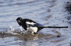 magpie-bathing-7832