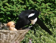 magpie-eating-eggs-6749