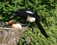 magpie-eating-eggs-6753