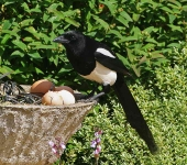 magpie-eating-eggs-6758