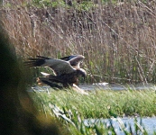 marsh-harriers-mating-4807
