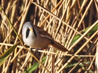 bearded-tit-male-2827