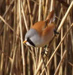 bearded-tit-male-3