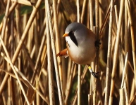 bearded-tit-male-3273