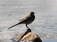 grey-wagtail-chick-2675