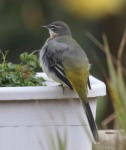 grey-wagtail-chick-3251