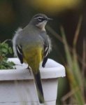 grey-wagtail-chick-3257