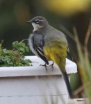grey-wagtail-chick-3259