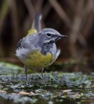 grey-wagtail-chick-6728