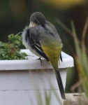 grey-wagtail-chick-resting-3254