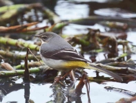 grey-wagtail-on-pond-7150