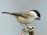 marsh-tit-with-food_5034