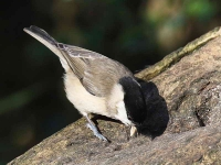 marsh-tit-with-seed-3468