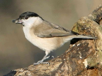 marsh-tit-with-seed_2798
