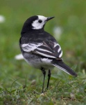 pied-wagtail-0063