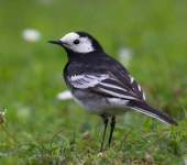 pied-wagtail-0066