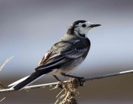 pied-wagtail-6011