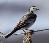 pied-wagtail-6012
