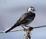 pied-wagtail-6014