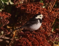 pied-wagtail-7137