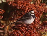 pied-wagtail-7140