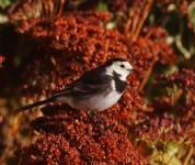 pied-wagtail-7146