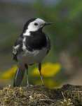pied-wagtail-9764