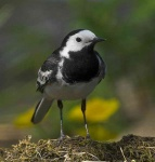 pied-wagtail-9766