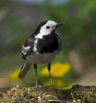 pied-wagtail-9767