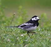 pied-wagtail-9905