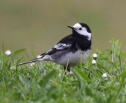 pied-wagtail-9907