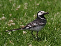 pied-wagtail-with-food-8868