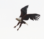 African Fish Eagle_2348