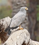 African Harrier hawk_1851