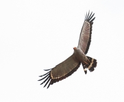 African Harrier hawk_1867
