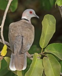 African Mourning Dove_2263