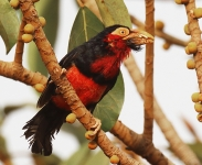 Bearded Barbet_1670