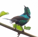 Beautiful Sunbird_1742