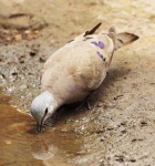 Black billed Wood Dove_1207