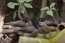 Black cap Babblers_3009