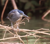 Black crowned night Heron_2302